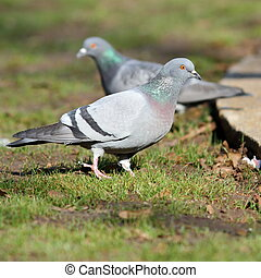 pigeon on lawn in the park
