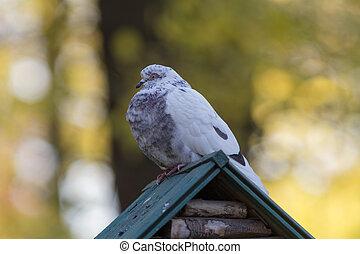 pigeon on the autumn background