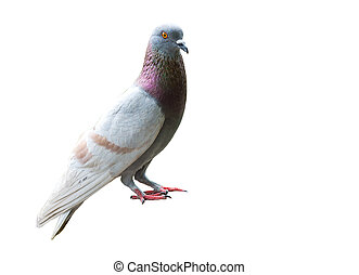 Pigeon on white.