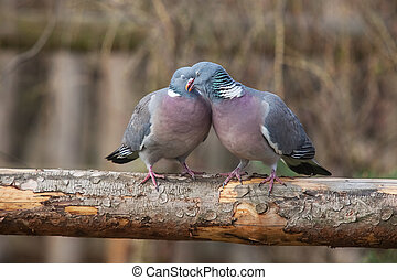 pigeon pair sitting on a tree