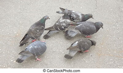 Pigeon pecking bread crumbs - On the asphalt a pigeon walks ...