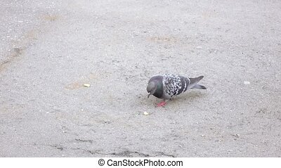 Pigeon pecking bread crumbs - Cautious grape snail with a...