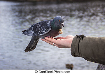 pigeon pecking crumbs on the man's hand