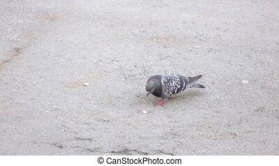 pigeon, picoter, miettes, pain