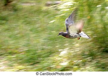 pigeon, single bird in flight - Wood pigeon, Columba ...
