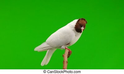 pigeon sit on a branch and peel a green screen - pigeons sit...