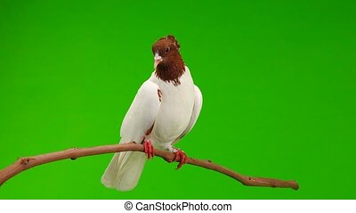 pigeon sit on a branch  green screen