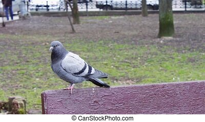 Pigeon sitting on a bench