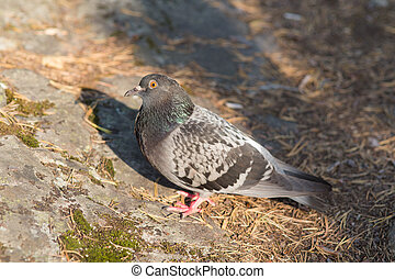 pigeon sitting on a rock