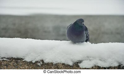 Pigeon sitting on the snow cold winter snow