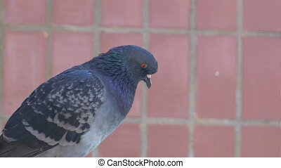Pigeon sitting on the street near the house. Close-up....