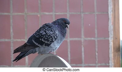 Pigeon sitting on the street near the house. Slow Motion -...