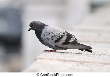Pigeon standing on a stone surface