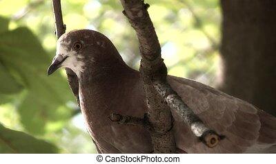 Pigeon,