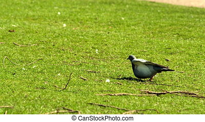 Pigeon taking off from grass in slow motion