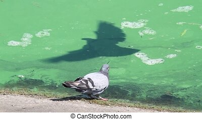 pigeon trying to drink water in a dirty river, summer period