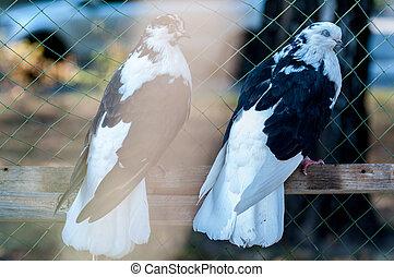 pigeon Turkish breed Donek at a bird show in Ukraine