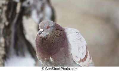 Pigeon. - Gray-brown pigeon. Close-up.