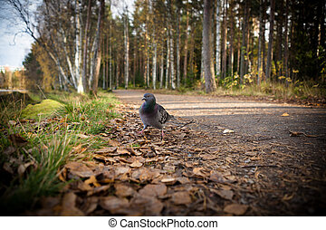 Pigeon walking in the park