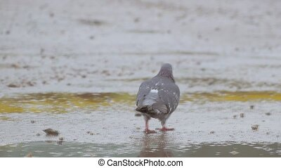 pigeon walks on dirt slow motion video - disheveled gray...