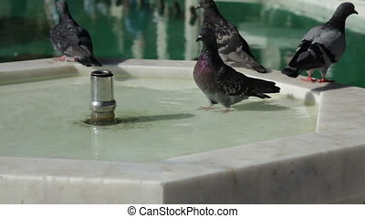 pigeon washing in a fountain