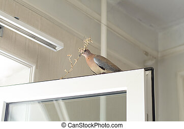 Pigeon with a twig in its beak is sitting on the window