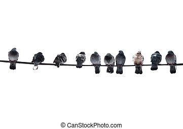 pigeons, на, провод