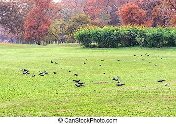 pigeons, alimentation, herbe, public, park.