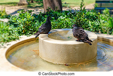 Pigeons bathe in the fountain on hot summer day.