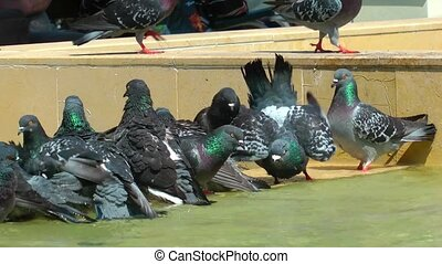 Pigeons Bird Animal