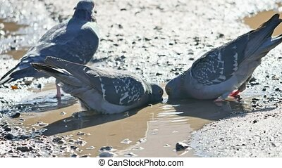 Pigeons birds drink water from a puddle - Pigeons birds...