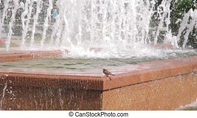 Pigeons drinking water from a fountain