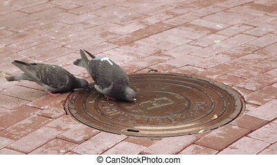 Pigeons drinking water - With lid sewer pigeons drink water