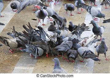 Pigeons eat a lot of food.