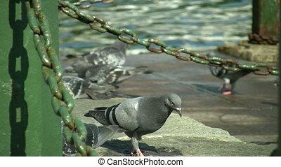 pigeons, entiers, 1080p, hd
