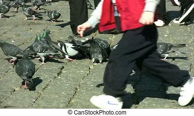 pigeons, entiers, hd, 1080p