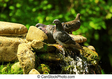 pigeons escape from the summer heat at the waterfall