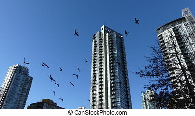 Pigeons flock flying among highrise buildings