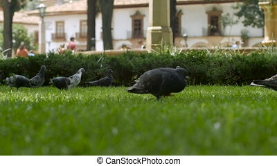 Pigeons fly off the green grass in slow motion as a young child runs by in a city park, low angle