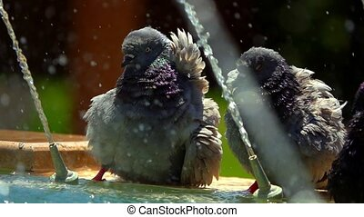 pigeons, fontaine
