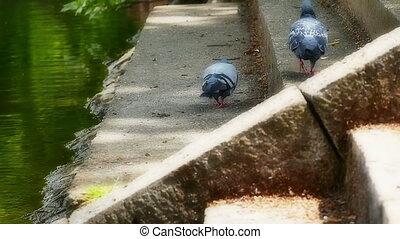 pigeons, front mer