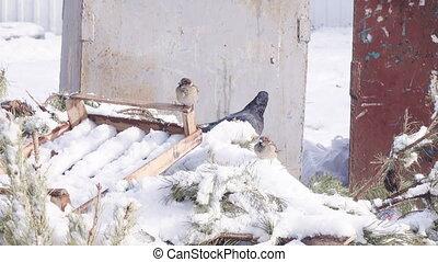 pigeons, hiver, neige