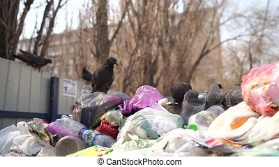 Pigeons in a dumpster looking for food. Hungry birds search for food in a trash can on a city street