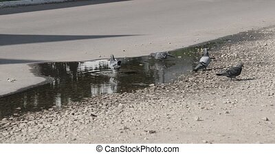 Pigeons in a puddle