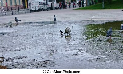 Pigeons in fountain slow motion - Pigeons in fountain in...