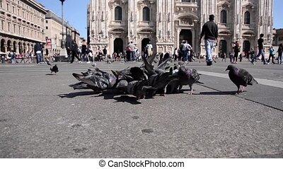 pigeons in milan - Pigeons in piazza Duomo, Milan. Piazza...