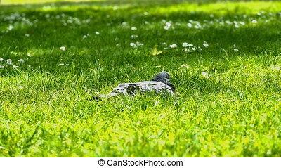 pigeons in park