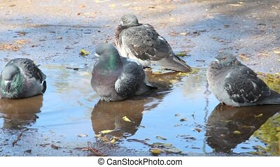 pigeons in puddle in park - pigeons in puddle in autumn park