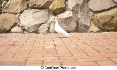 Pigeons in the city. White dove on the background of the stone wall of the castle. 4k