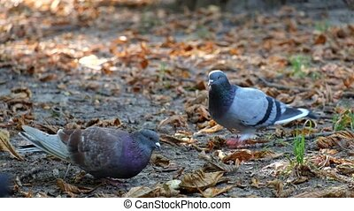 Pigeons in the park eat bread crumbs. One of the pigeons believes that this is his territory